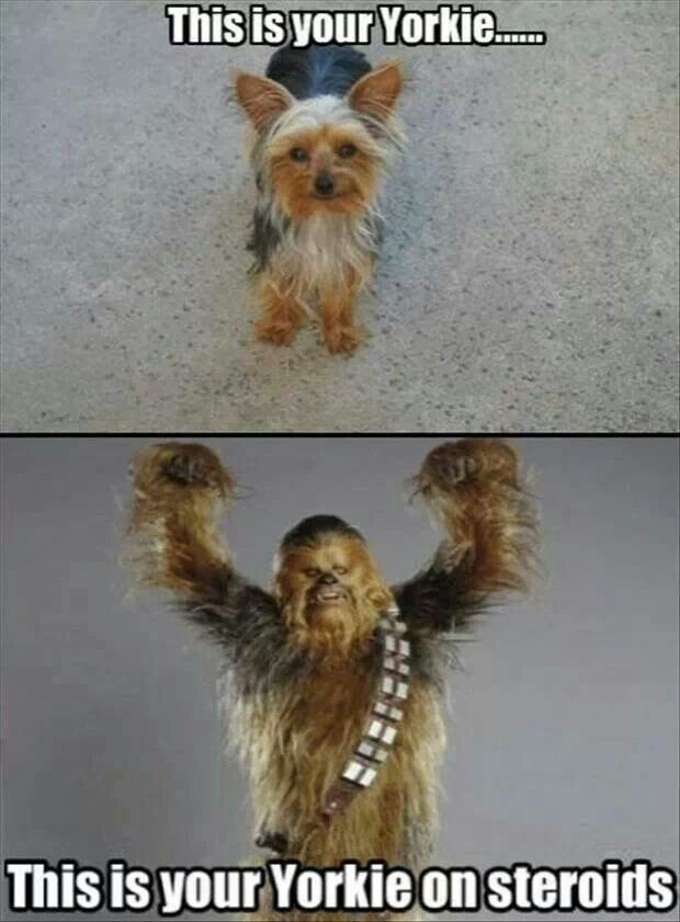 Yorkshire Terriers Dogs Puppies Pinterest Funny Animals