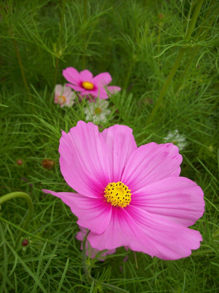 Cosmos The Color Purple Flower Drawing Flower Pictures Beautiful Blooms