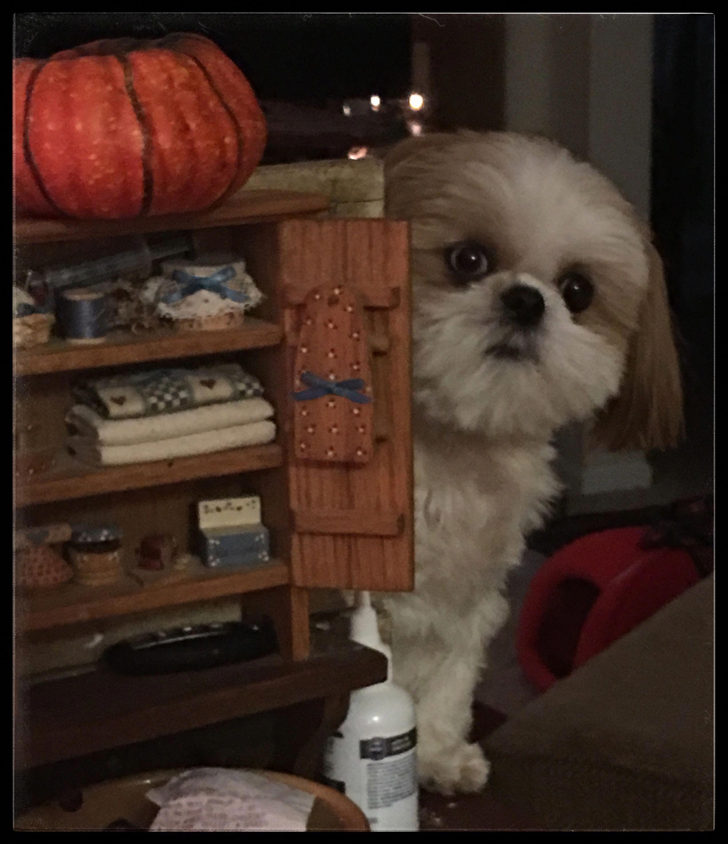 Shih Tzu Affectionate And Playful Shih Tzu Puppy Shih Tzu Shih Tzu Dog
