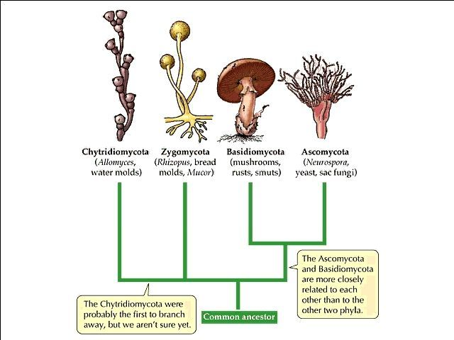 The Kingdom Of Fungi Diagram Google Search Ceramics Pinterest