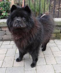 Mojo Chow Chow Dog Salem Or Adopt Dogs Chow Chow Black