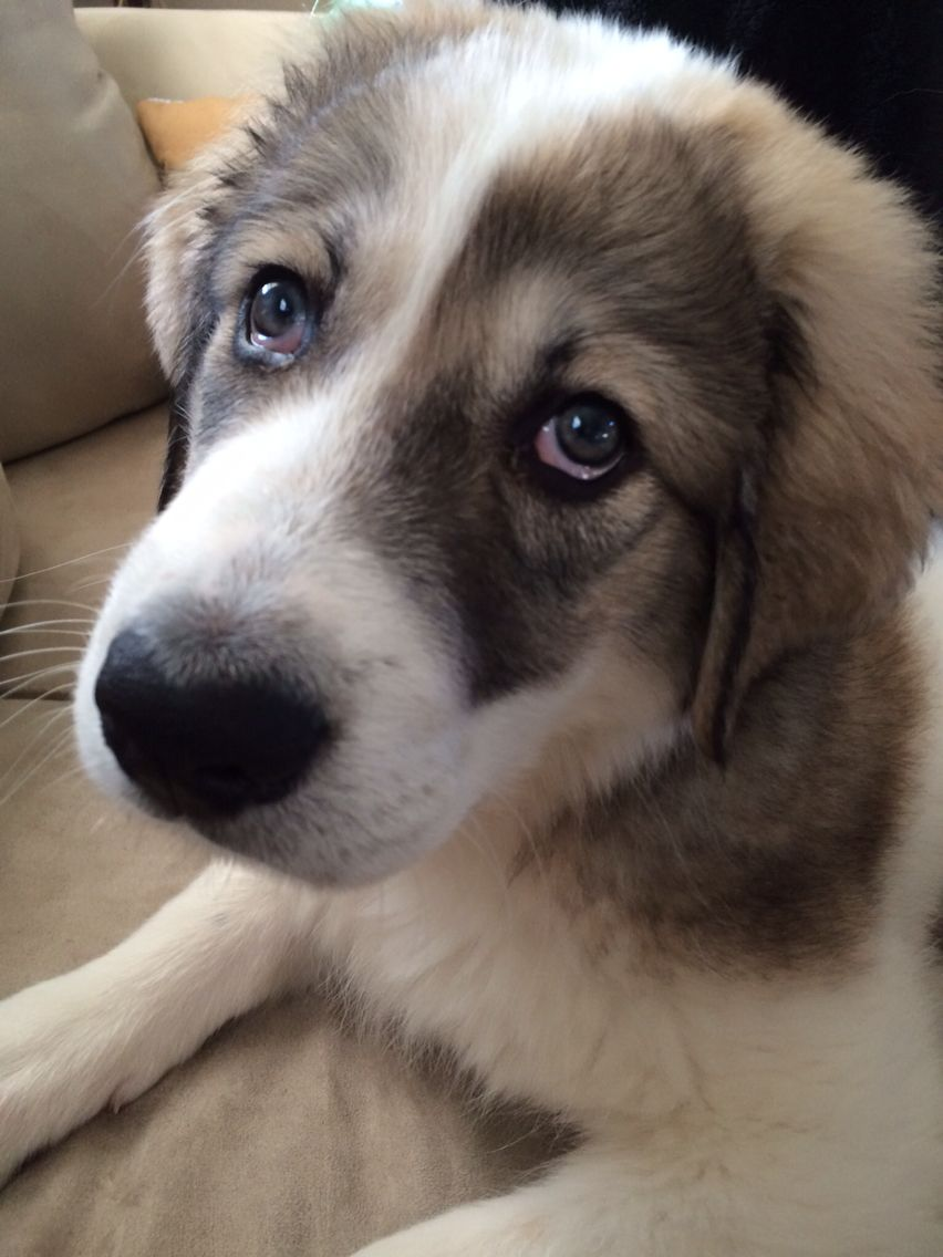 Great pyrenees puppy at 3 months old odinthegreat