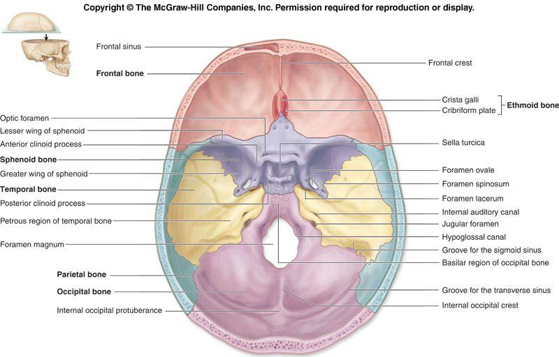 axial skeleton skull diagram of the tabernacle moses superior view bones anatomy skeletal system