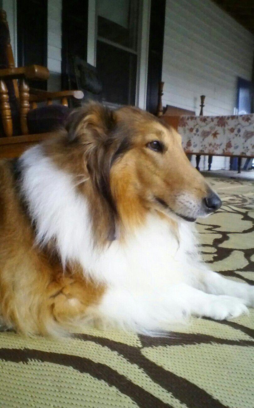 More About Shetland Sheepdog Personality Shetlandsheepdoglovers