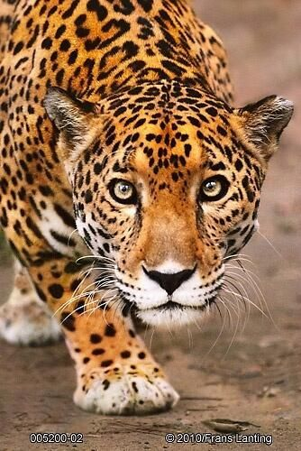 Stunning Wildlife On Twitter Animals Wild Big Cats Frans Lanting