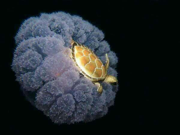 A turtle using a jellyfish for a ride through the ocean.  Brilliant!