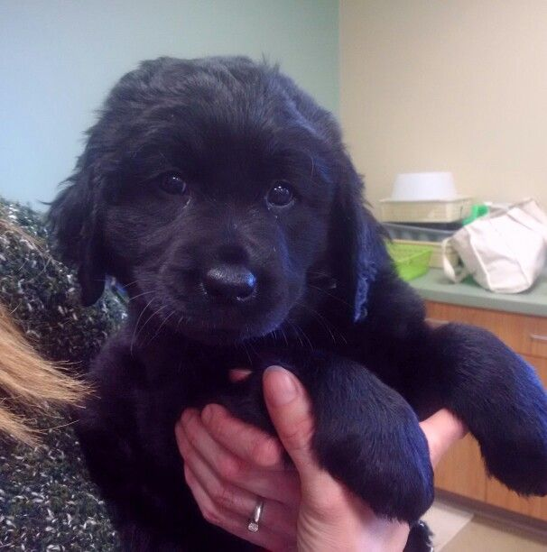 Long Haired Black Labrador Retriever Puppy 8 5 Weeks Black Labrador Retriever Labrador Retriever Black Labrador Puppy