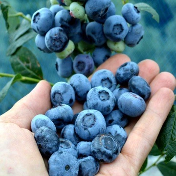 Przedmioty Uzytkownika Twojesady Strona 3 Allegro Pl Fruit Blueberry Chandler