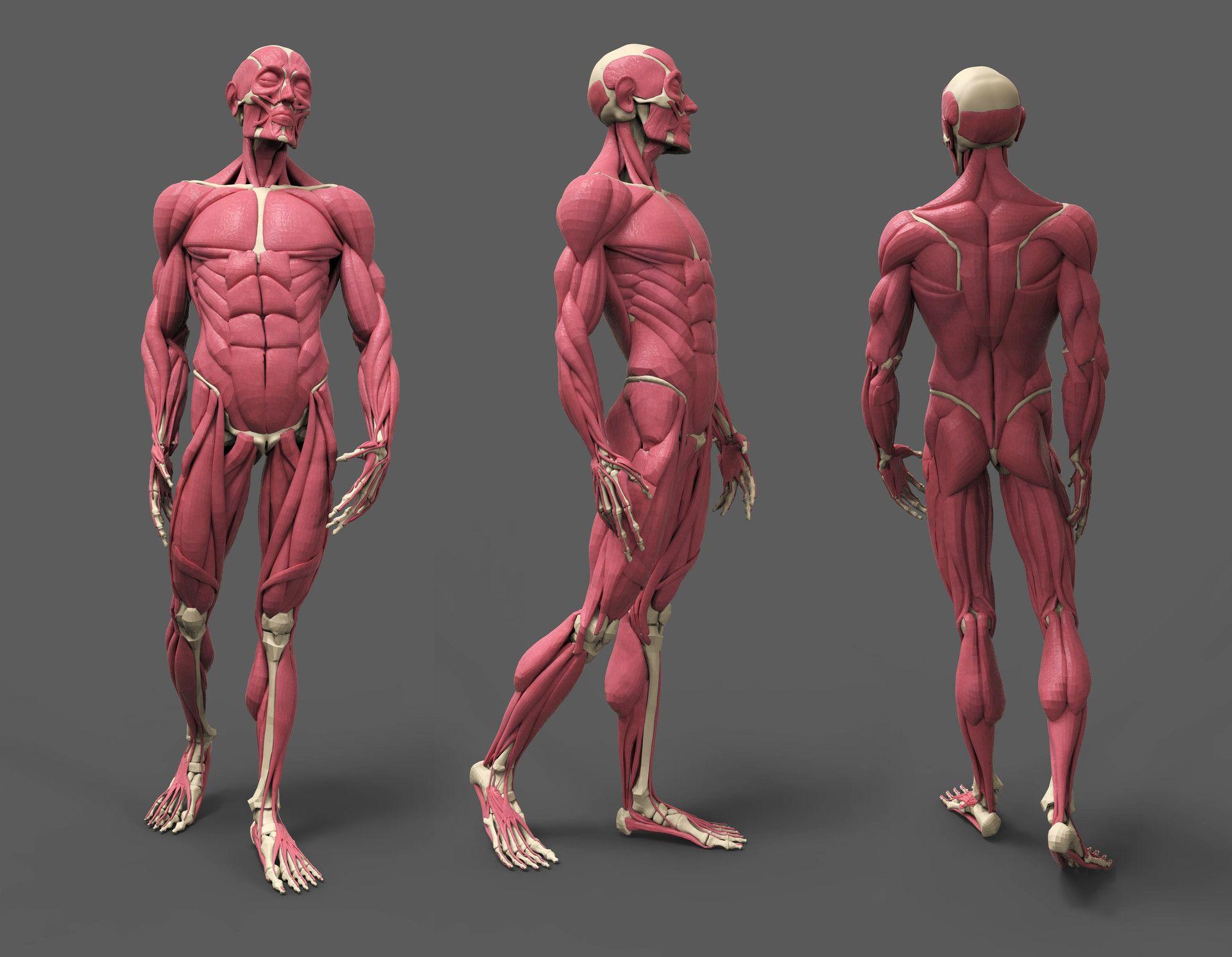 Artstation Human Anatomy Amit Ghadai In 2020 Human Anatomy Human Muscle Anatomy Human Anatomy Drawing