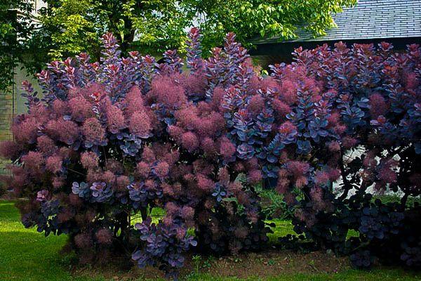 Royal Purple Smoke Tree Smoke Bush Smoke Tree Bush Plant