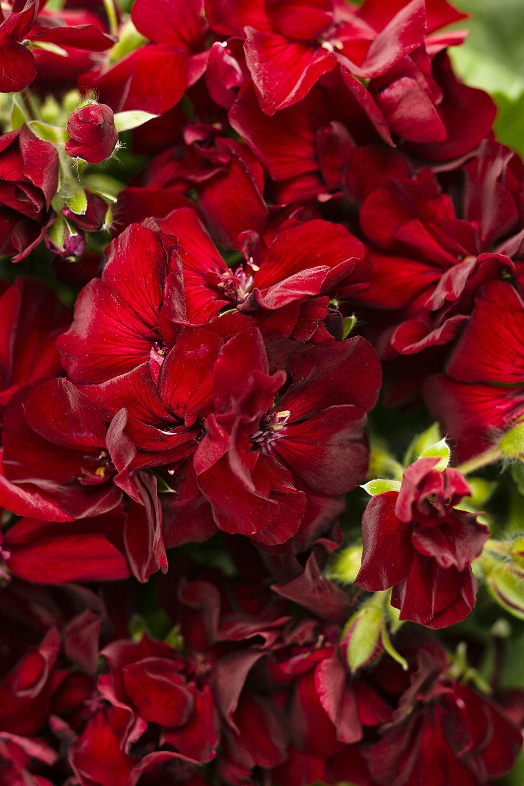 Boldly Burgundy Geraniums have a deep, rich red color, definitely an ...