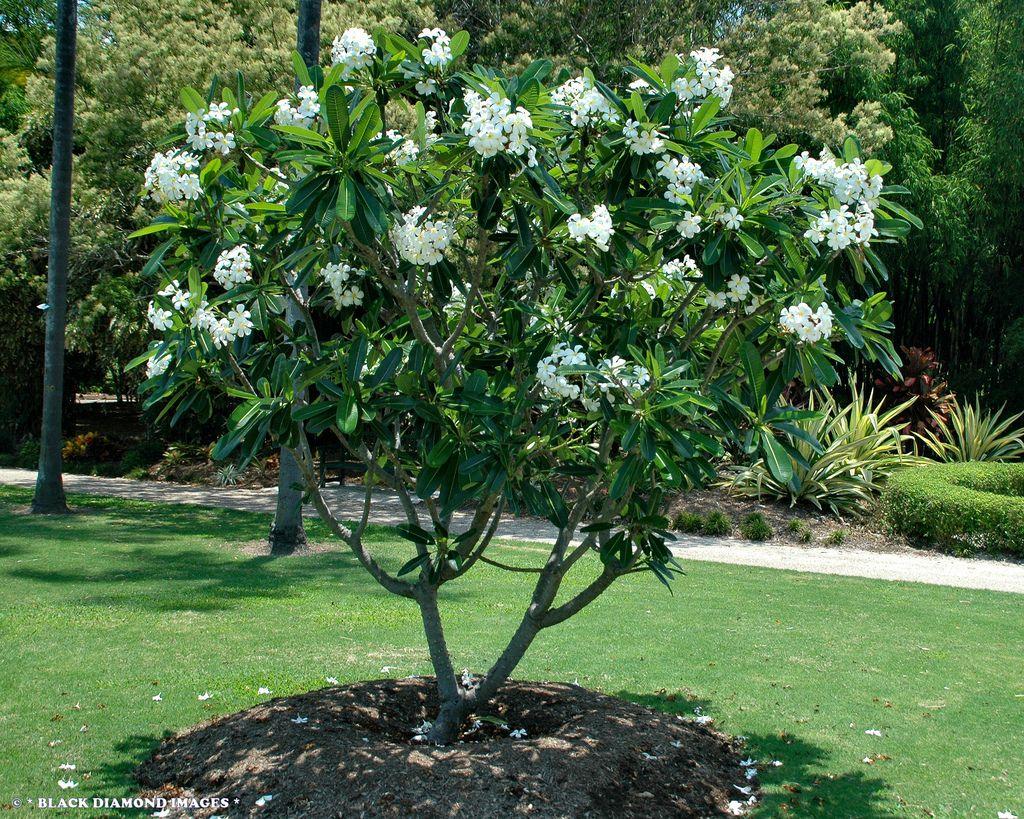 Plumeria Obtusa Google Search Small Tropical Gardens Garden Trees Plants