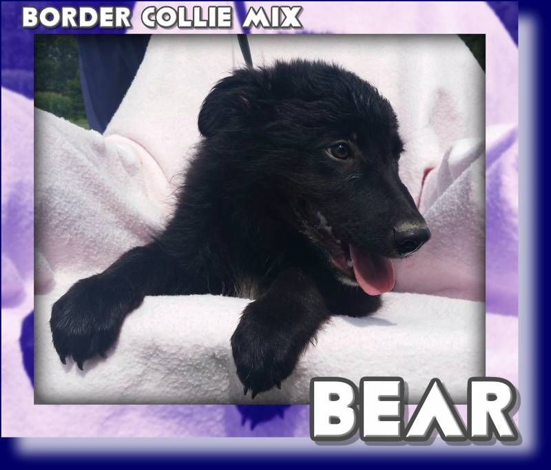 Bear Male Border Collie Mix 300 Border Collie Mix Collie Mix