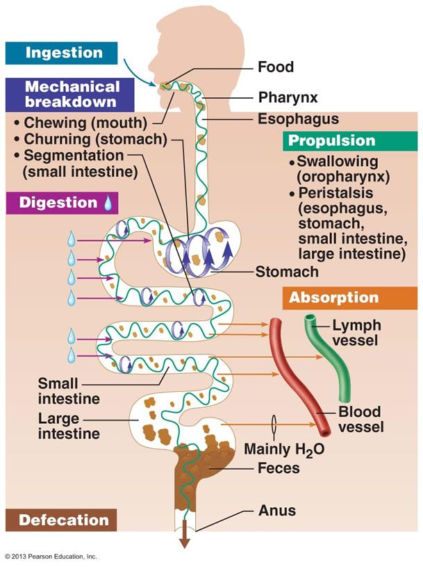The Digestive System - the phases of digestion! Great diagram ...