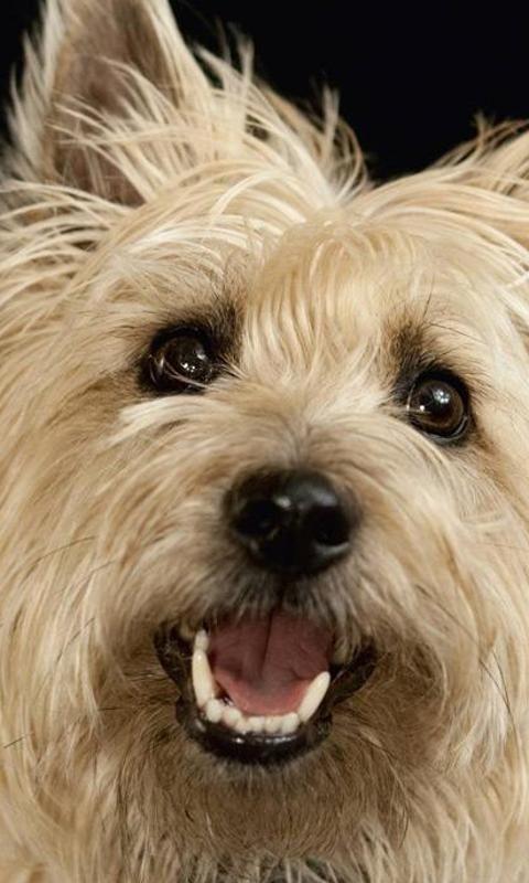 cairn terrier Cairn terrier puppies, Cairn terrier