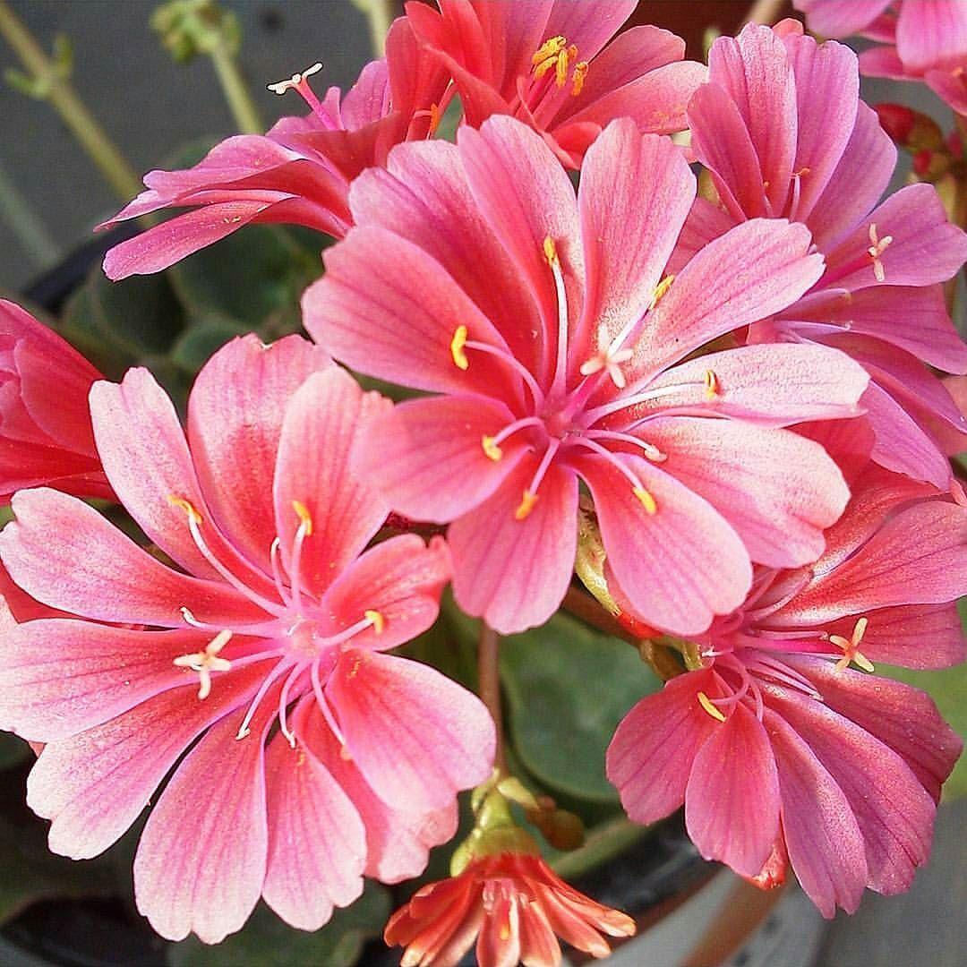 Photo by @sandyandtam  Photo selected by @ponyfony  Thank you for tagging #ponyfony_flowers   #flowers #flower #bloom  #plant  #springtime #flowerpower  #flowerstagram #flowersofinstagram  #botanical #floral  #flowermagic  #flores  #floweroftheday  #flowerstalking  #flowerstyles_gf  #gardening #blossom  #blooms  #flowerslovers  #fleur #fleurs  #instaflower #florals  #blume  #fiore #flowerporn #petal  #sopretty #flor by ponyfony_flowers