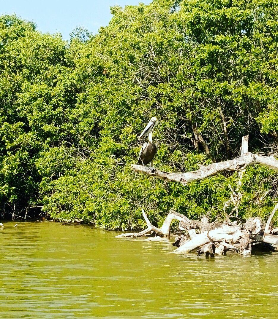Pelicano Rio Lagartos Yucatan