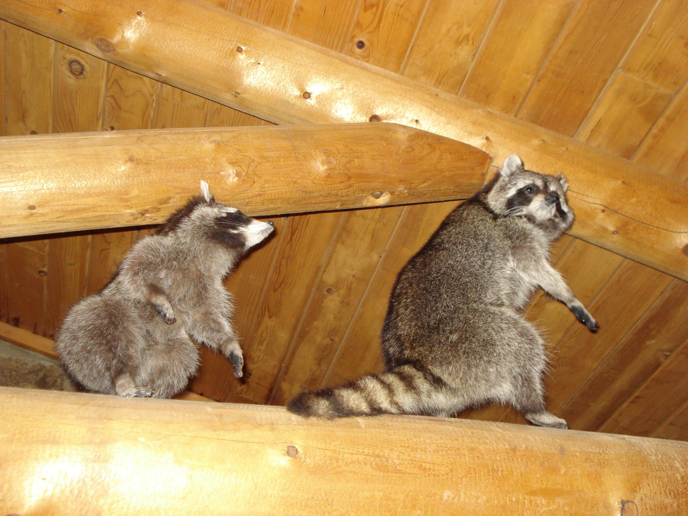 raccoons-in-home-manatee-county | Are Raccoons Harmful to Humans ...