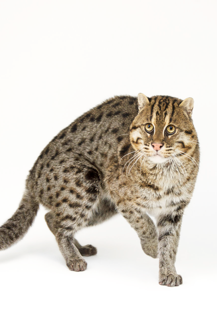 An Endangered Fishing Cat Prionailurus Viverrinus At The Point Defiance Zoo Https Www Joelsartore Com Search Fishing Cat Small Wild Cats Cats Wild Cats