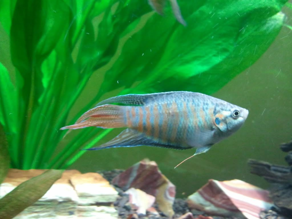Blue Paradise Gourami -- Look at those pretty colors | Tropical ...