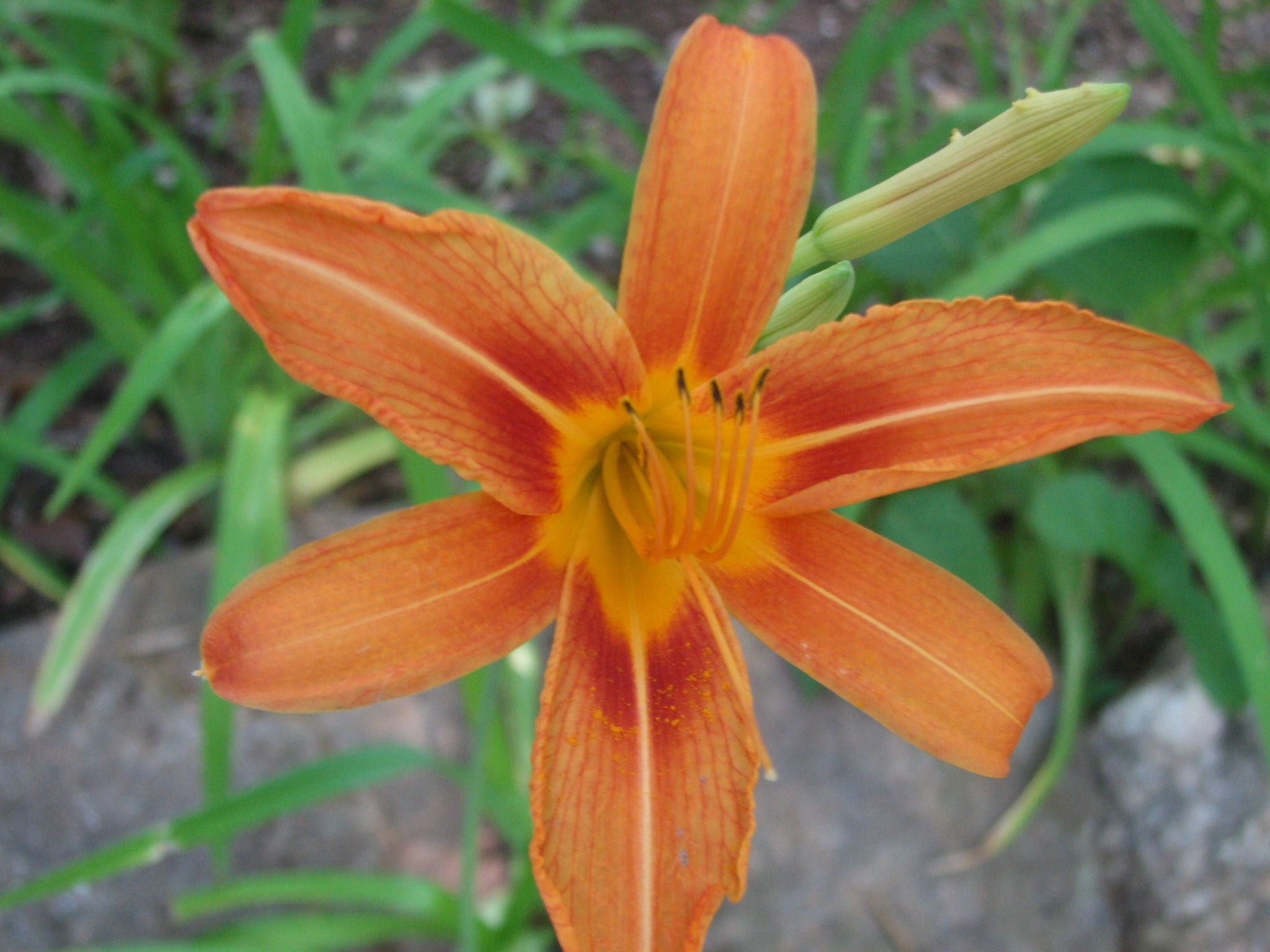 Bright beautiful orange day lily day lilies flower