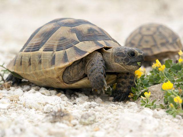 Prespa-Ohrid region (Balkans) / Auch die seltenen Griechische Landschildkroete lebt in der Prespa-Ohrid-Region. Mit etwas Glück kann man an manchen Tagen bis zu 30 Schildkröten bei ihrem Sonnenbad oder bei der Futtersuche beobachten. © Dietmar Nill