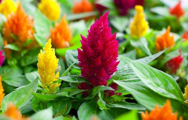How To Care For Celosia Flowers Heat Tolerant Flowers Full Sun Flowers Flower Care