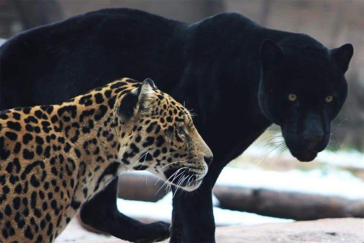 Bearizona Will Celebrate National Cat Day With 2 New Jaguars Bearizona A Popular Wildlife Park Near The Grand Canyon Dev National Cat Day New Jaguar Animals