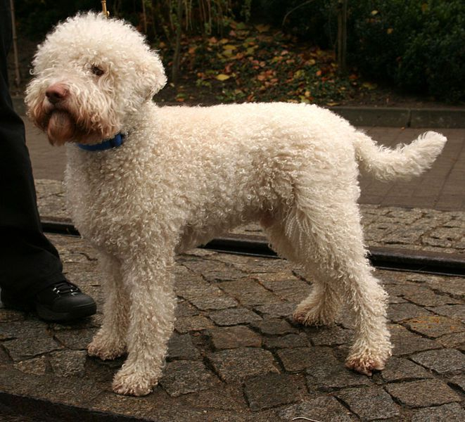 About 500 Lagotto Romagnolo Dogs Can Be Found In The United States