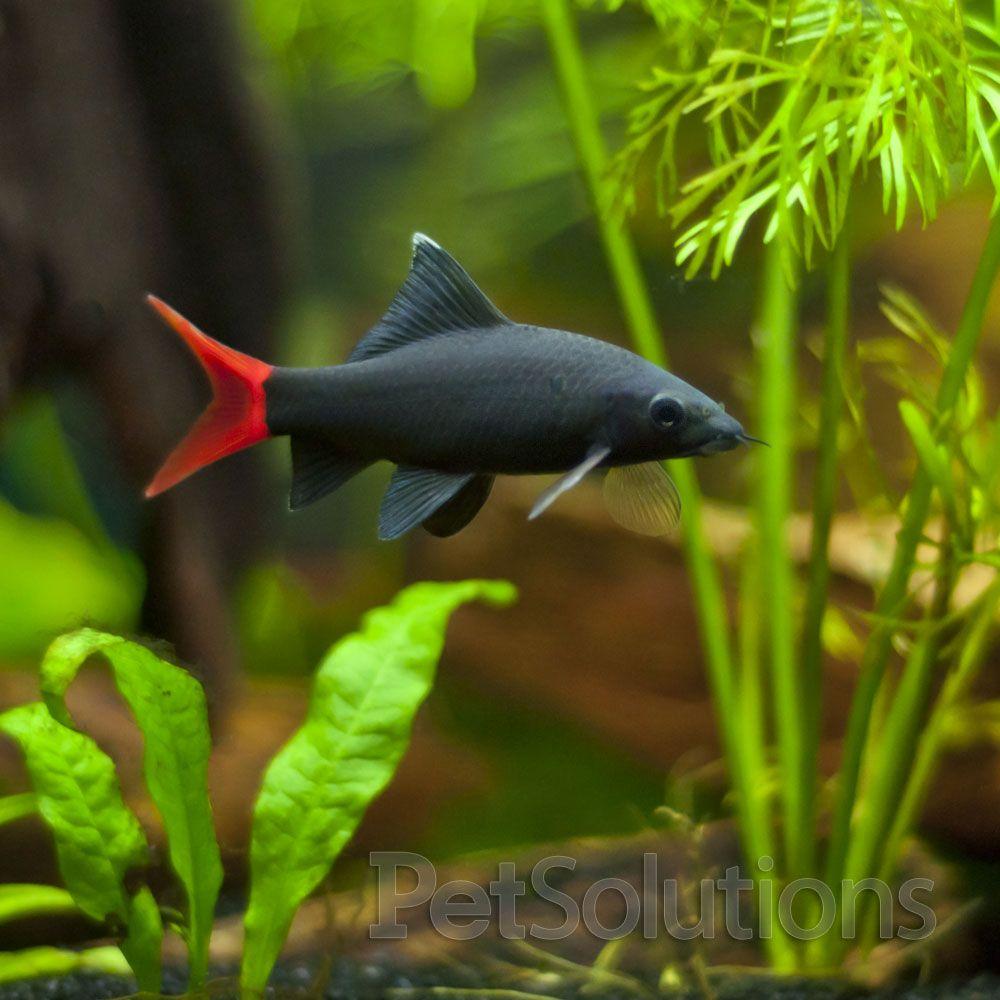 Red Tail Shark Small Fresh Water Fish Tank Tropical Fish Tanks Freshwater Fish