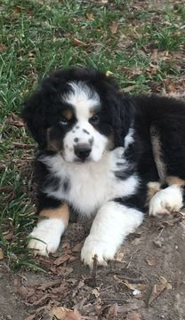 Litter Of 3 Miniature Australian Shepherd Puppies For Sale In