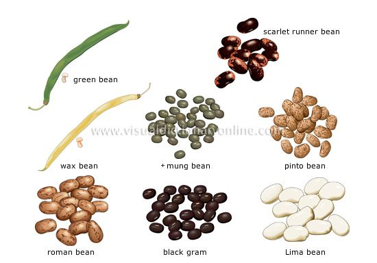 Beans Fruits Of Plants Native To Central And South America The