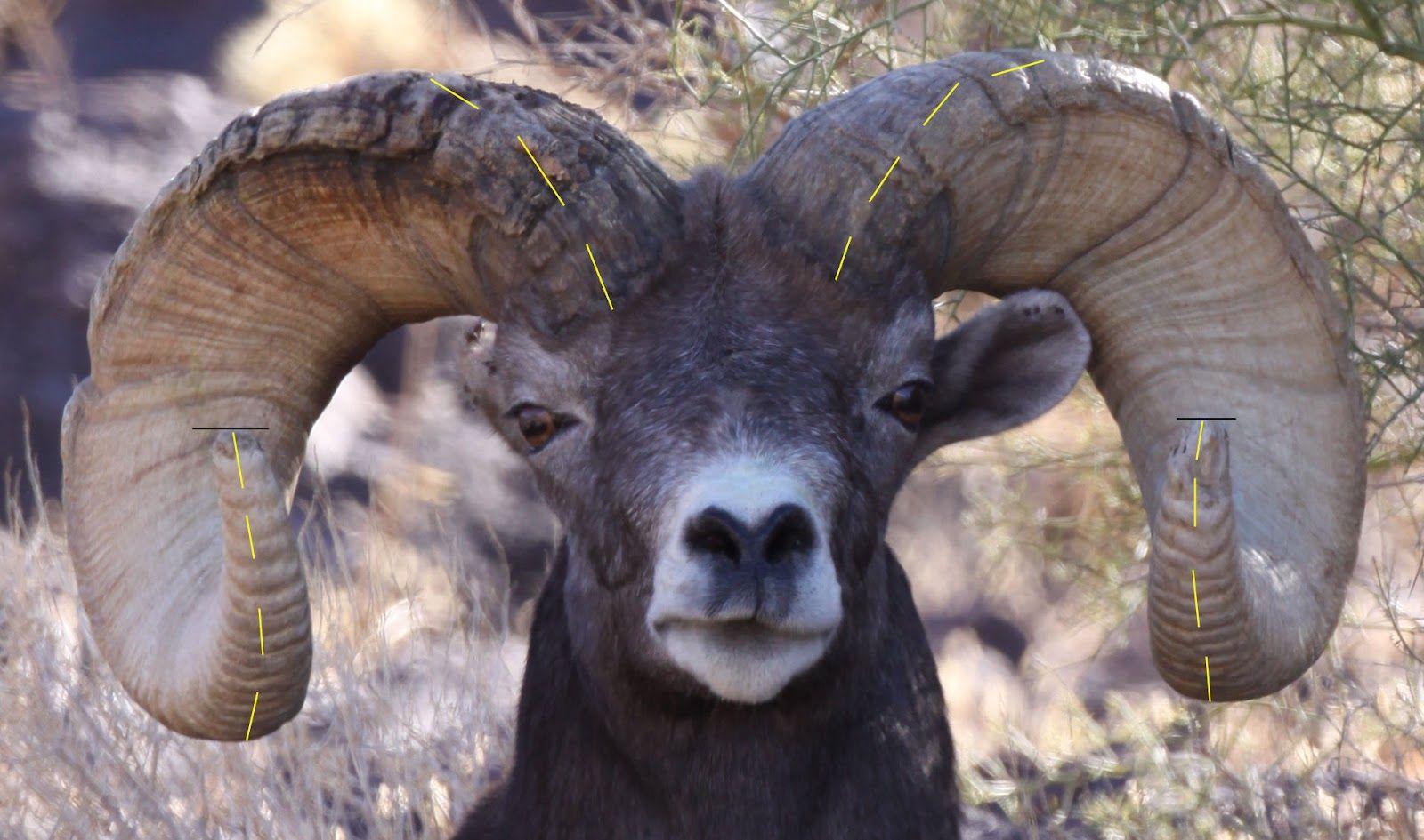 Field Judging North American Wild Rams