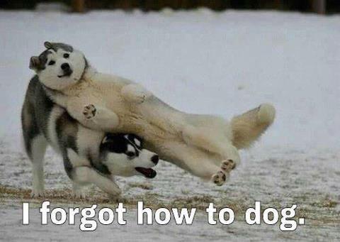 Meme Funny Husky Dogs : I forgot how to dog husky funny pictures meme.jpg 480×341 the