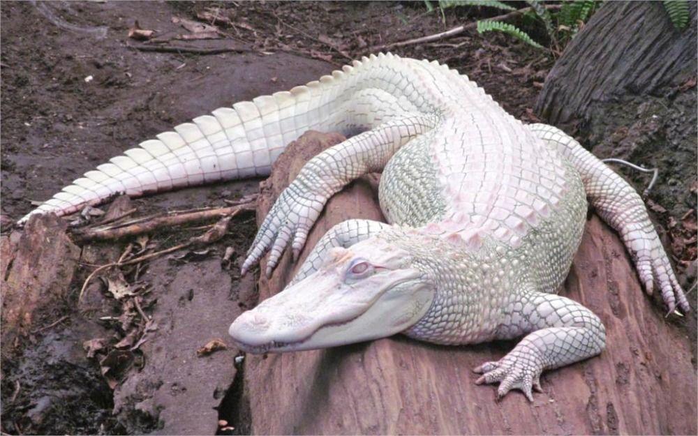 24X36-ZOLL-KUNST-SILK-POSTER-Alligatoren-albino-albino-tiere-natur ...