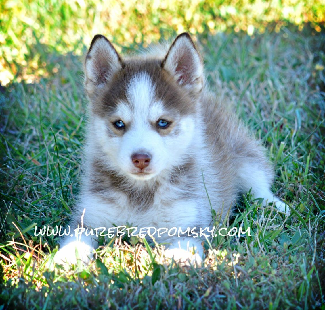 Red And White Pomsky Siberian Husky X Pomeranian Overload Of