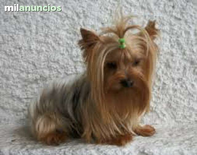 Yorkshire terrier mini toy foto