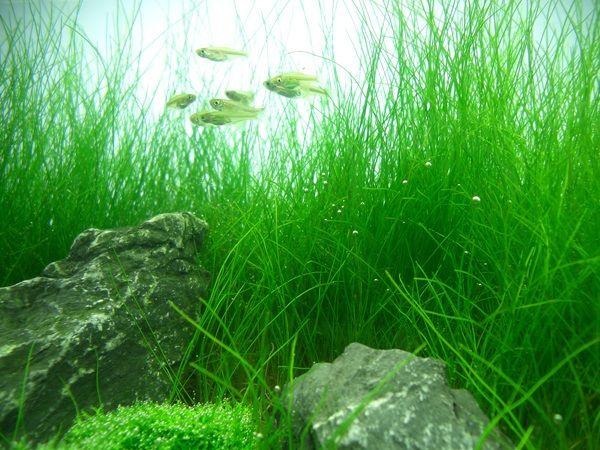 5 Of The Best Carpet Plants For Freshwater Custom Aquariums Fpsbutest Planted Aquarium Freshwater Aquarium Plants Aquatic Plants