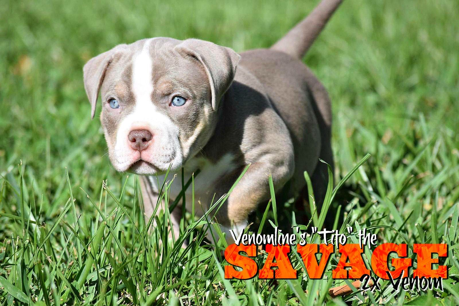 Top Pocket American Bully Breeders American Bully Pocket Bully Bully Breeds