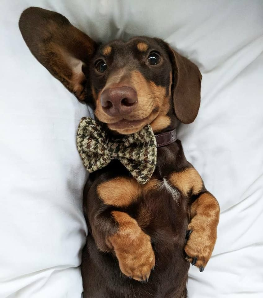 Brown And Tan Dachshund Dachshund Pets Dachshund Puppy
