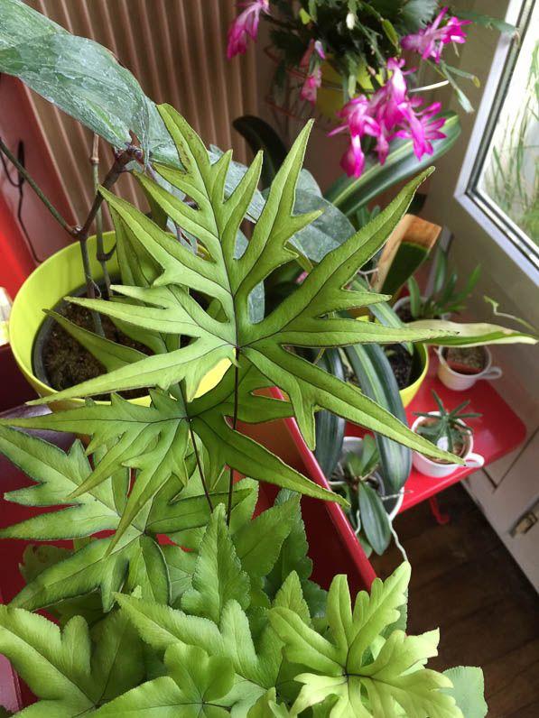 plante exotique int rieur foug re plante d 39 int rieur. Black Bedroom Furniture Sets. Home Design Ideas