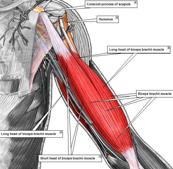Pop-Anatomy - ADAM MUSCLES 2 | test | Pinterest | Anatomía, Atlas de ...