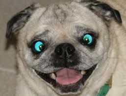 Crazy Eyes Funny Animal Faces Funny Dog Pictures Dog Expressions