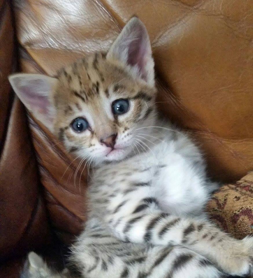 Serval & savannah kittens available Adopt cats