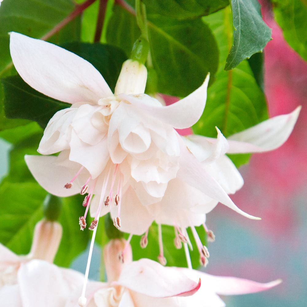 Fuchsia 39 white king 39 perennial biennial plants for Vivero de plantas exoticas