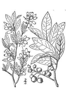Botanical Sketch Of Blueberry Plant Scientific Drawing