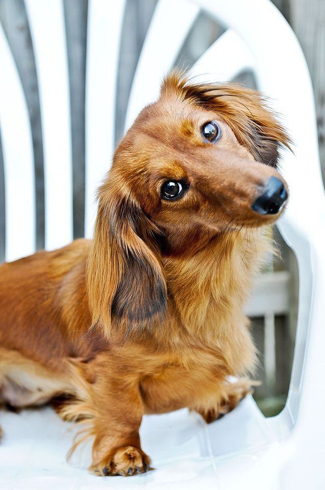 Now What Makes You Think I M Getting Off Of This Chair Dachshund Long Haired Dachshund Dachshund Dog Dachshund Puppies