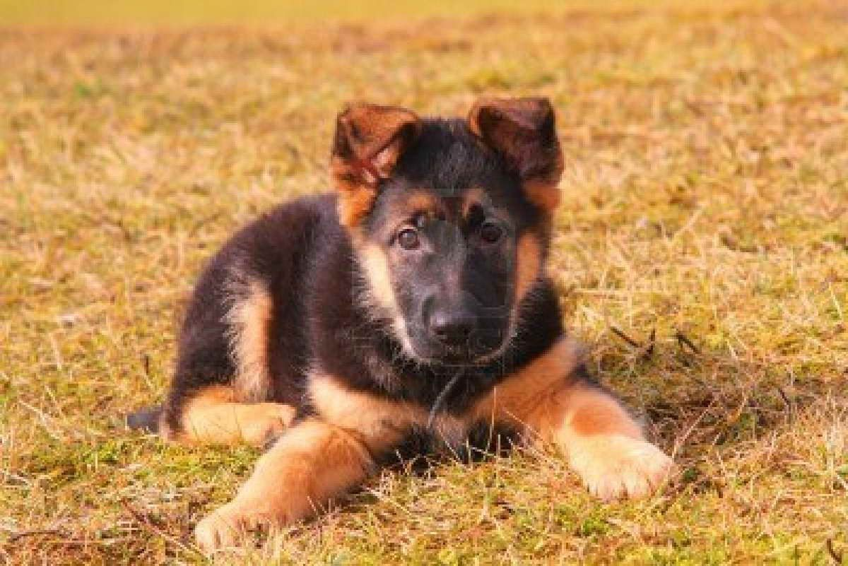 Average Cost Of A German Shepherd Puppy