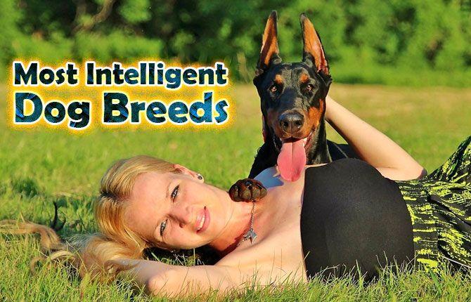 Most Intelligent Dog Breeds https://didyouknowpets.com/2016/09/16/most-intelligent-dog-breeds/