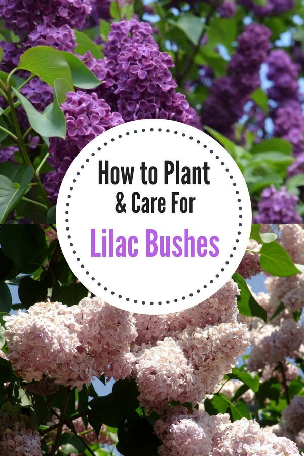 How To Grow A Lilac Bush For Beautiful Blooms In The Spring Natalie Linda Lilac Bushes Flower Garden Care Lilac Plant